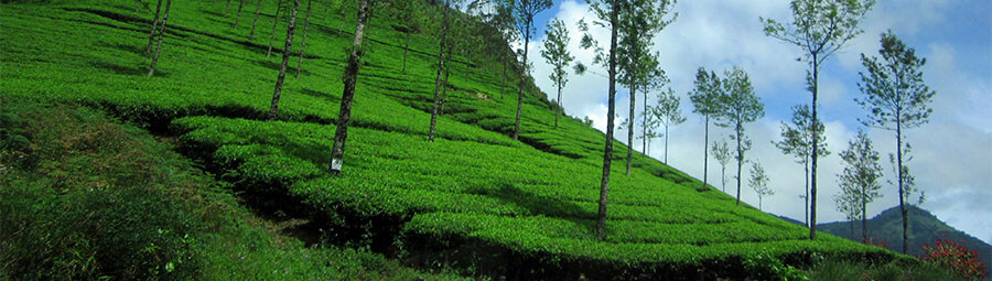 best resorts in munnar,luxury resorts in munnar,premium resorts in munnar,luxury resort stay munnar,resorts in munnar,resorts in munnar kerala